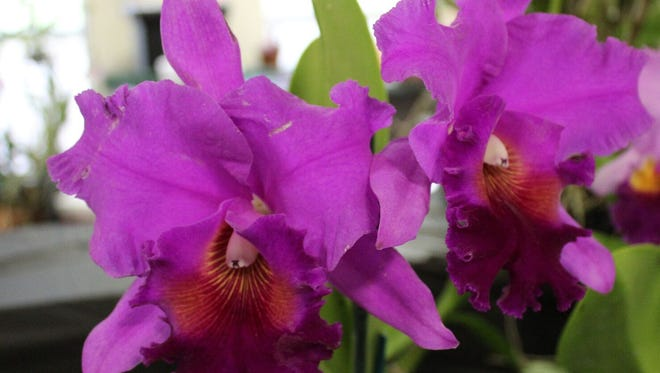 The Tallahassee Orchid Society Show will be Saturday and Sunday.