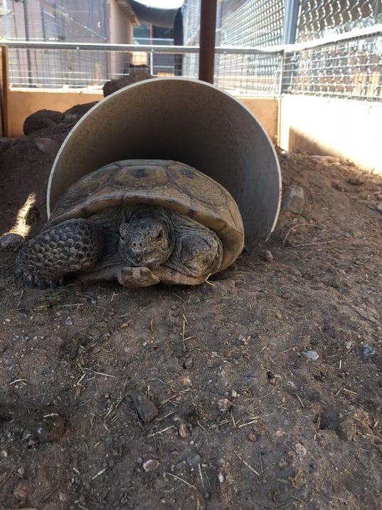 Tripod, three-legged desert tortoise