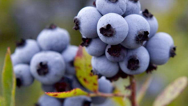 Maine's wild blueberry crop suffered in 2020 due to drought and a lack of labor caused by the coronavirus pandemic.