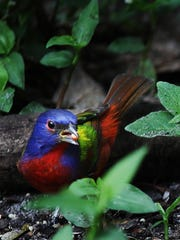 A painted bunting feeds on seeds from a bird feeder at Corkscrew Swamp Sanctuary. The News-Press file photo A painted bunting feeds on seeds from a bird feeder at Corkscrew Swamp Sanctuary on Friday 2/3/2012. The secretive small colorful birds are hard to photograph,