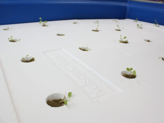 Lettuce grows in Owego Apalachin Middle School's aquaponics