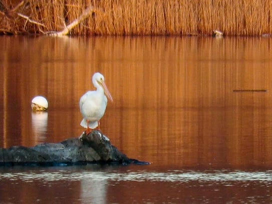 A white pelican is seen at Playland park Thursday.