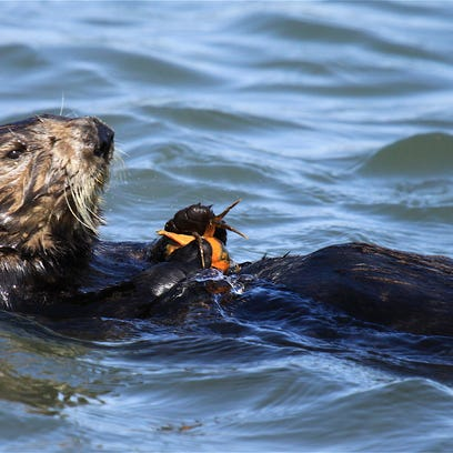 Sea otter makes a rare appearance in Ventura but may not stick around for long