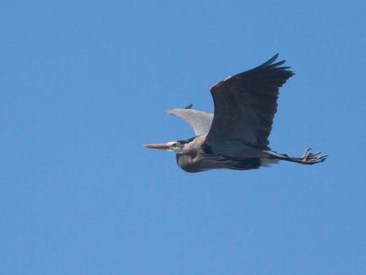 Kensington blue herons 02.jpg