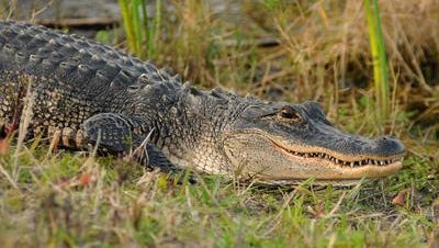 Because of an abundance of the large reptiles in the Sunshine State, the Florida Fish and Wildlife Commission said it wasmaking 1,313 more harvest permits available this yearfor county-wide alligator harvest units.
