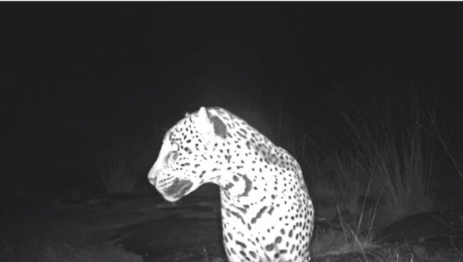 Conservationists released video of a jaguar that they hoped was the first female of the species seen in Arizona since the 1960s. But the jaguar turned out to be a male.