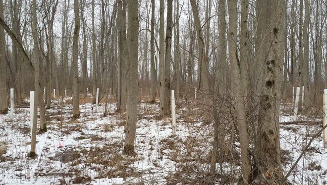 Thousands of baby trees are being planted to replace those that are doomed by the emerald ash borer