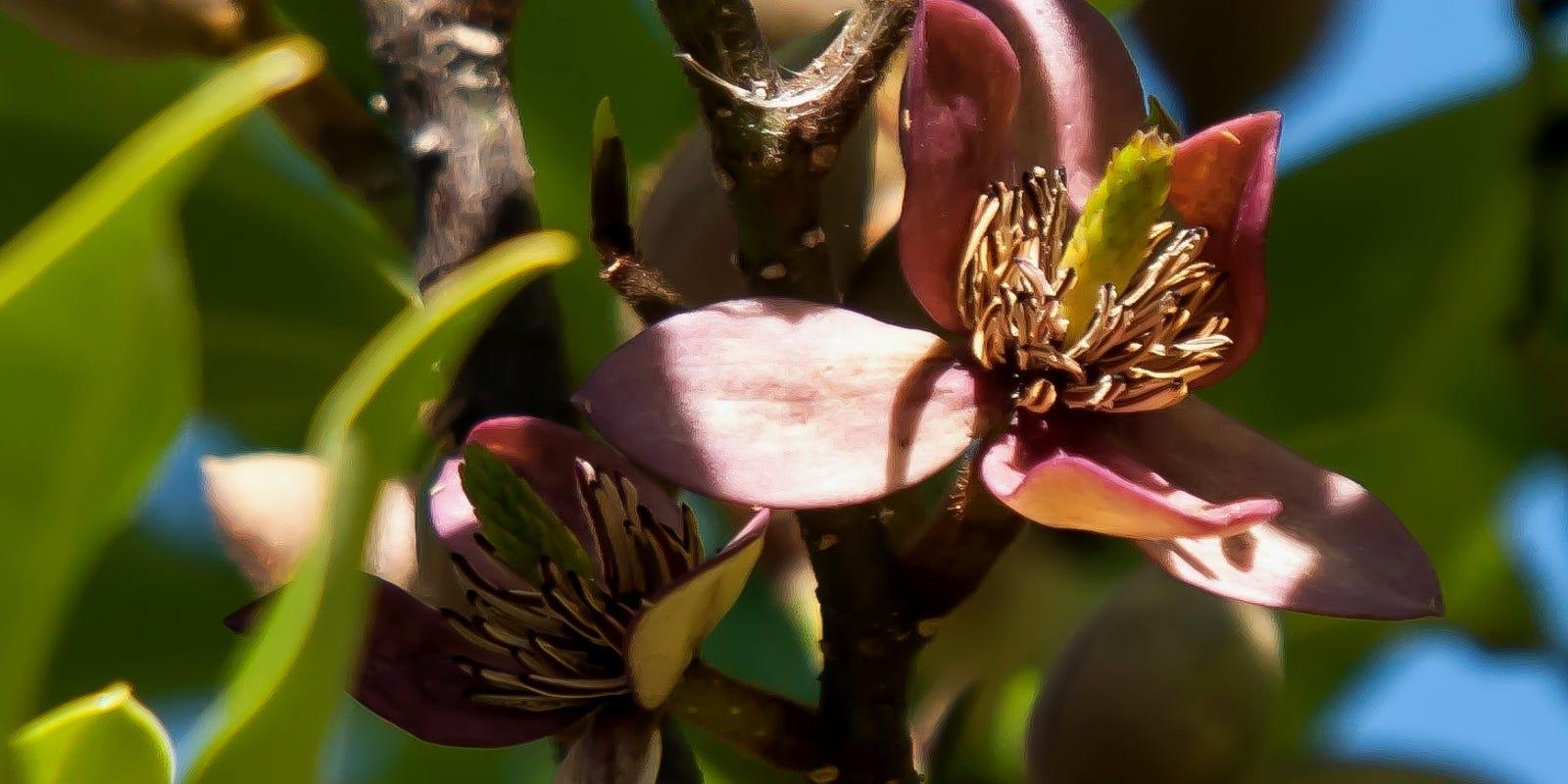 On Gardening: Banana Shrub, an heirloom of exotic fragrance