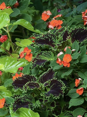 ColorBlaze Wicked Witch Coleus looks sensational as it echoes the lime green of Canary Wing begonias.