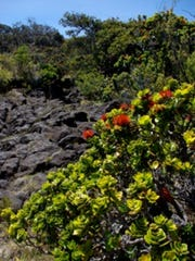The ohia tree is susceptible to a fungal disease that's been killing off the trees on Hawaii's Big Island.