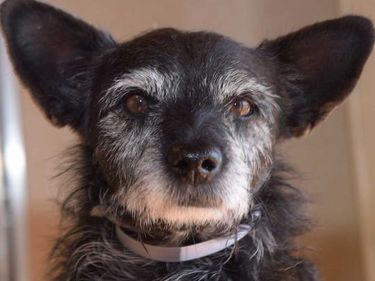 Chico - Male (neutered) terrier mix, about 4 years