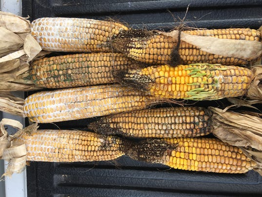 WSF 0427 Food hygiene corn