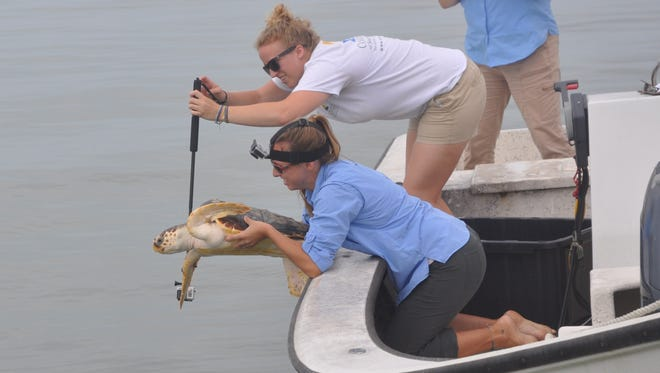 Betsy heads off to her life in the ocean as she is released near Coon Island by Gullivan Bay in Collier County.