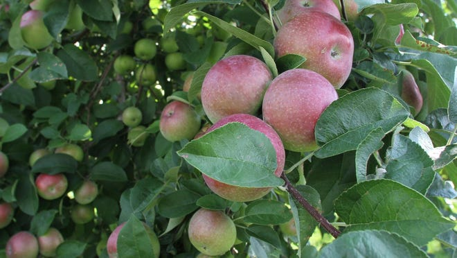 McIntosh apples on the trees at Pippin Orchard, Cranston.