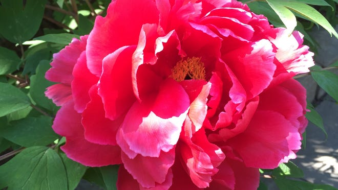 The 425 tree peonies near the entrance of the Rockefeller State Park Preserve were a gift to the American people from the small Japanese town of Yatsuko-Cho as a gesture of healing and peace after the terrorist attacks of Sept. 11, 2001.