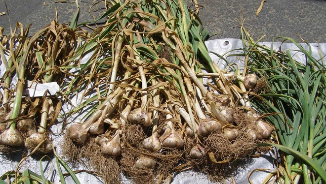 Garlic is shown in the sun for photo purposes. However, it should be stored in the shade.