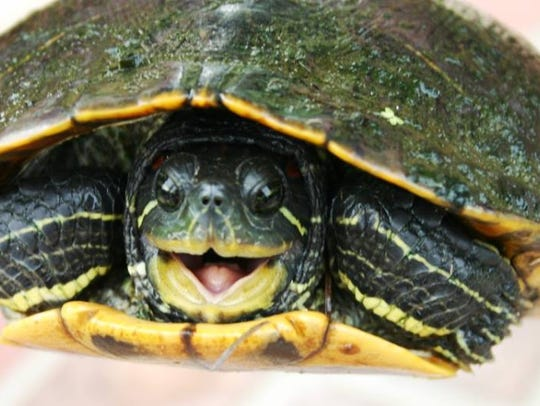 Tadpole Adventures featuring turtles is Saturday at