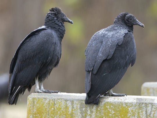 Droppings from black vultures are caustic and can stain concrete and eat away paint, according to the U.S. Army Corps of Engineers. -  -Black vulture Photo by Missouri Department of Conservation