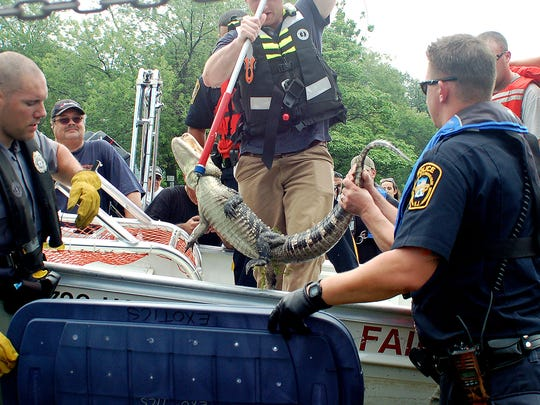 An alligator was caught in the Passaic Rivder near the Elmwood Park on July 8, 2015.
