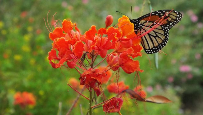 A monarch butterfly feeds from a Pride of Barbados plant in San Angelo. The arrival of fall means the monarch butterflies are on their way, usually passing through this part of West Texas around October.