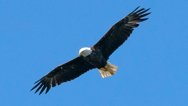 This file photo from 2017 shows a wild bald eagle flying over Rainy Lake, Minn.