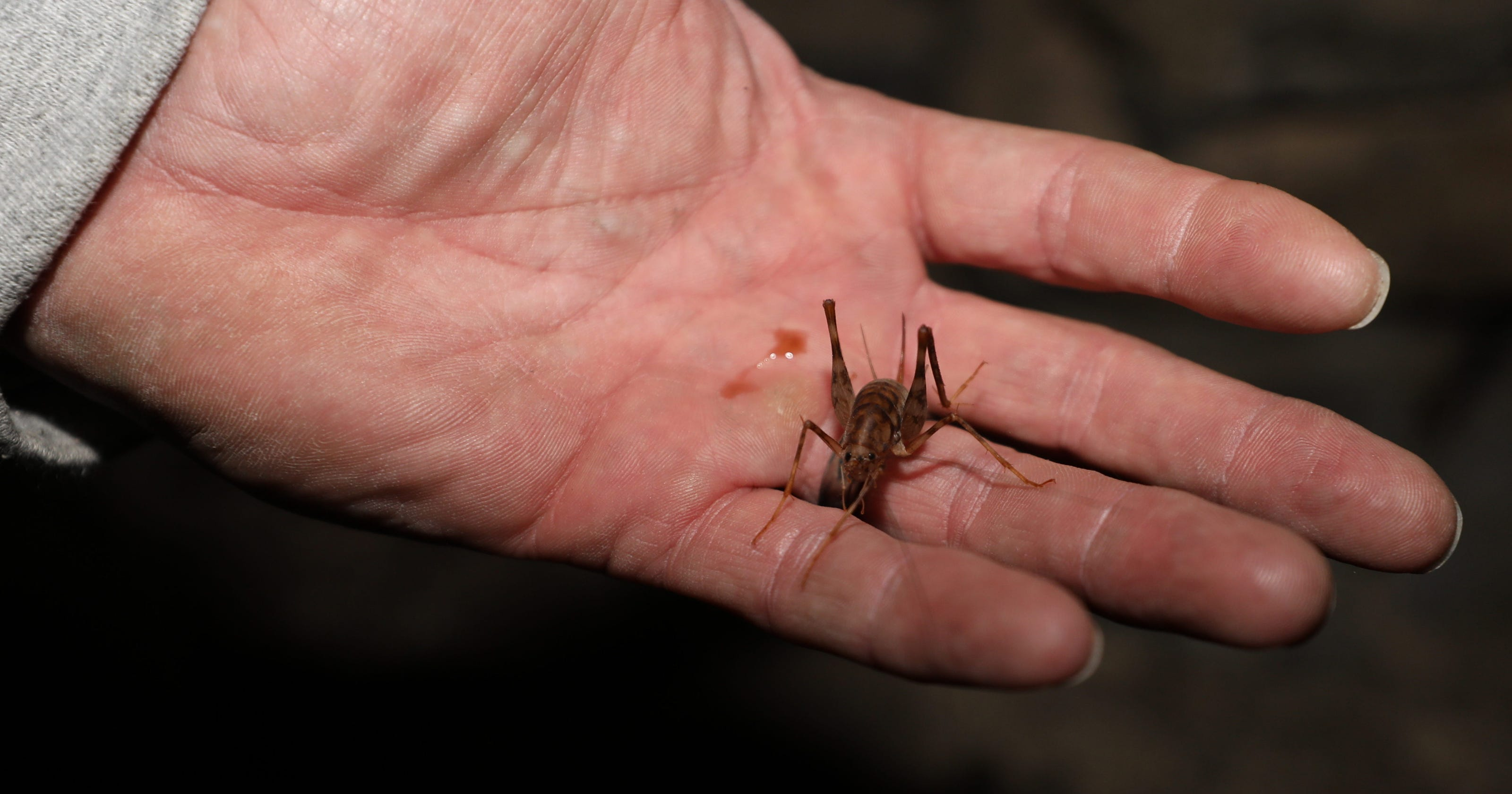 Camel, cave crickets in your home  How to get rid of them