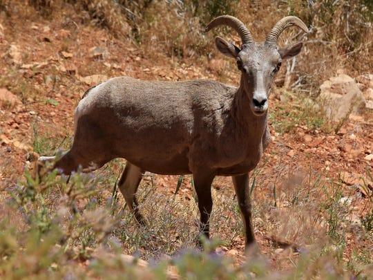 A bighorn sheep watched traffic along Rim Rock Road in Colorado National Monument.