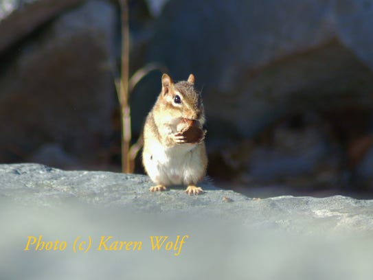 Amazingly, chipmunks often make more noise than squirrels.