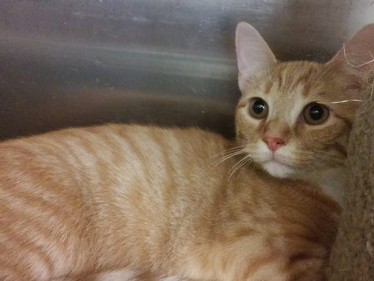Moonbeam is a beautiful 5-month-old, neutered-male,