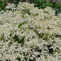 Dr. Dirt: Sun in morning, shade in afternoon is ideal for clematis plants