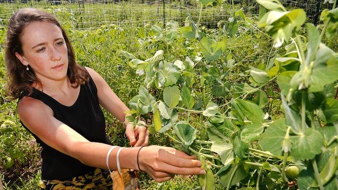Garden coordinator Martina Berger harvests sugar snap peas from the Kittery Land Trust's community garden Thursday.