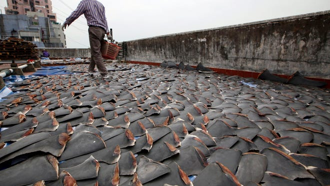 FILE - In this Jan. 3, 2013 file photo, a worker collects pieces of shark fins dried on the rooftop of a factory building in Hong Kong. A new set of Chinese tariffs on U.S. seafood includes products made from shark fins. China's one of the biggest buyers of shark fins, as the product is used to make shark fin soup, an Asian delicacy. (AP Photo/Kin Cheung, File) ORG XMIT: MERB201