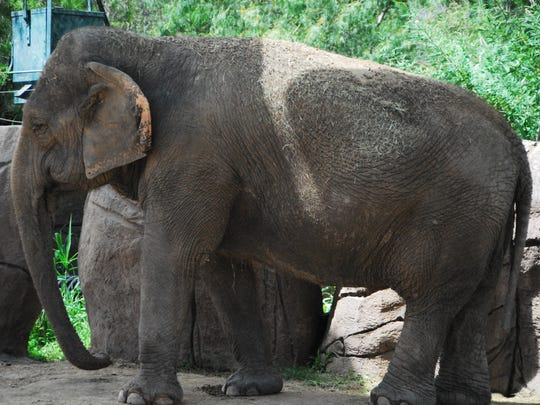 Juno is one of two Asian elephants at the El Paso Zoo.