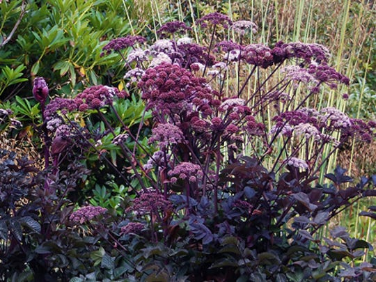 This rare Angelica is knockout in the garden.  It quickly