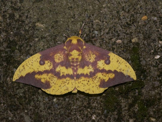 Moth Night at Franklin Parker Preserve might offer a glimpse at species like this Imperial moth.