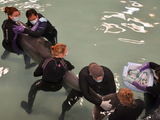 Volunteers with the Texas Marine Mammal Stranding Network work to rehabilitate a bottlenose dolphin.