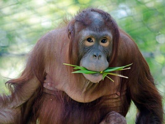 Phoenix Zoo orangutan