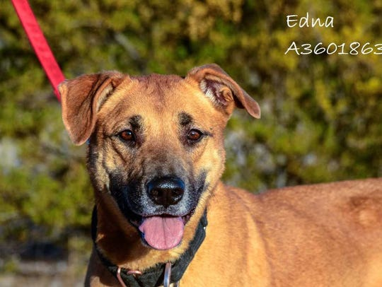 Edna - Female (spayed) shepherd mix, adult. Intake