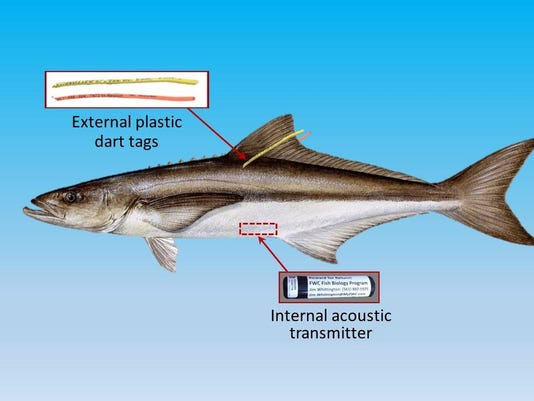 Tagged Cobia Graphic_BEST4