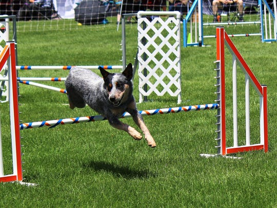 This four-legged friend makes it over a jump with the greatest of ease while focusing on his next obstacle.