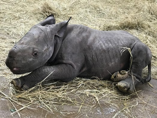 An unnamed endangered black baby rhino was born to