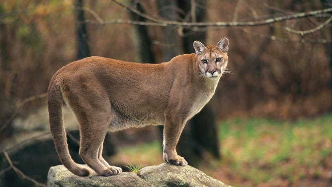"Grace Kennedy believes she has seen a mountain lion, like the one above, in Philipstown. State officials say there is no ""reproducing population"" of mountain lions in New York."