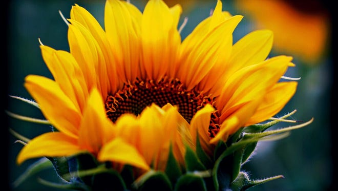 A picture of a flower by Sheryl Andrews.