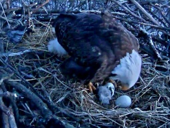 The Hanover eaglet hatched at  6:32 a.m. on Monday.