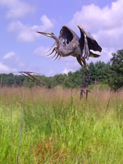 A great blue heron takes flight, triggering this photo from a Snapshot Wisconsin trail camera.