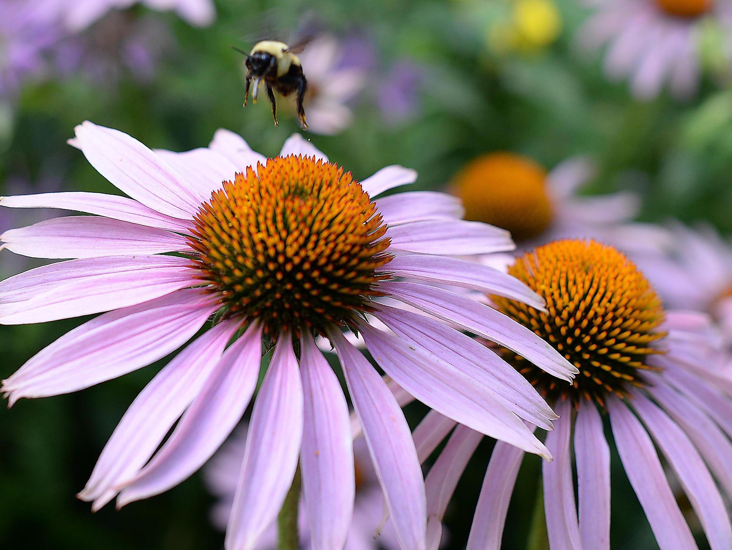 The Sikoras like purple coneflowers for their long