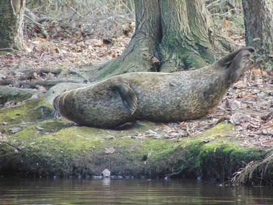A female seal rests on the bank near Coursey Pond.