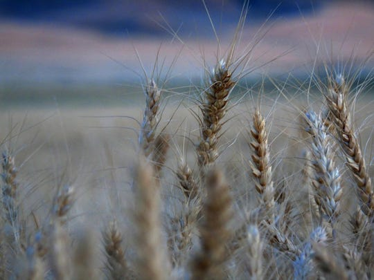 A field awaits cutting during harvest west of Dutton.