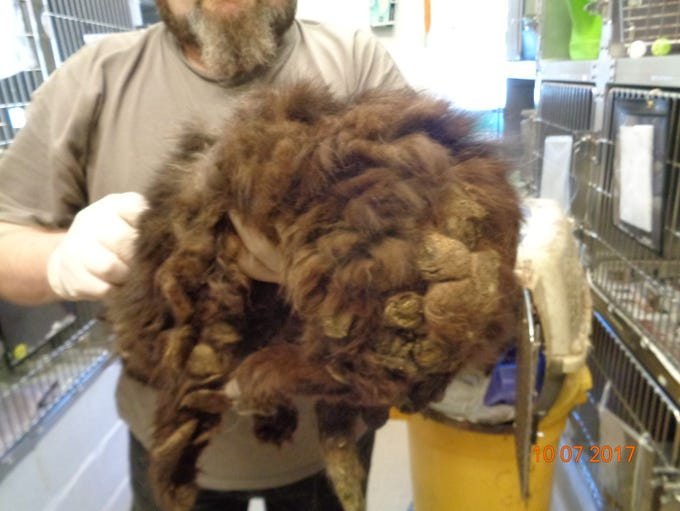 This cat, covered with matted fur, was one of 60 seized