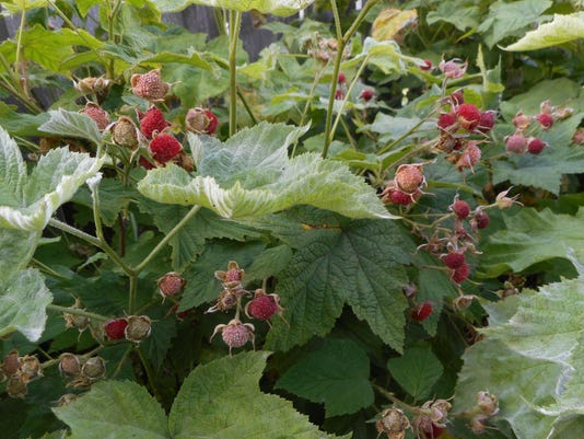 636558651371421901-thimble-berry-fruit-1-.JPG